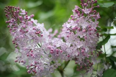 Lilac_89